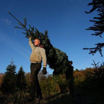 Ответственный подход  к выбору новогодней елки